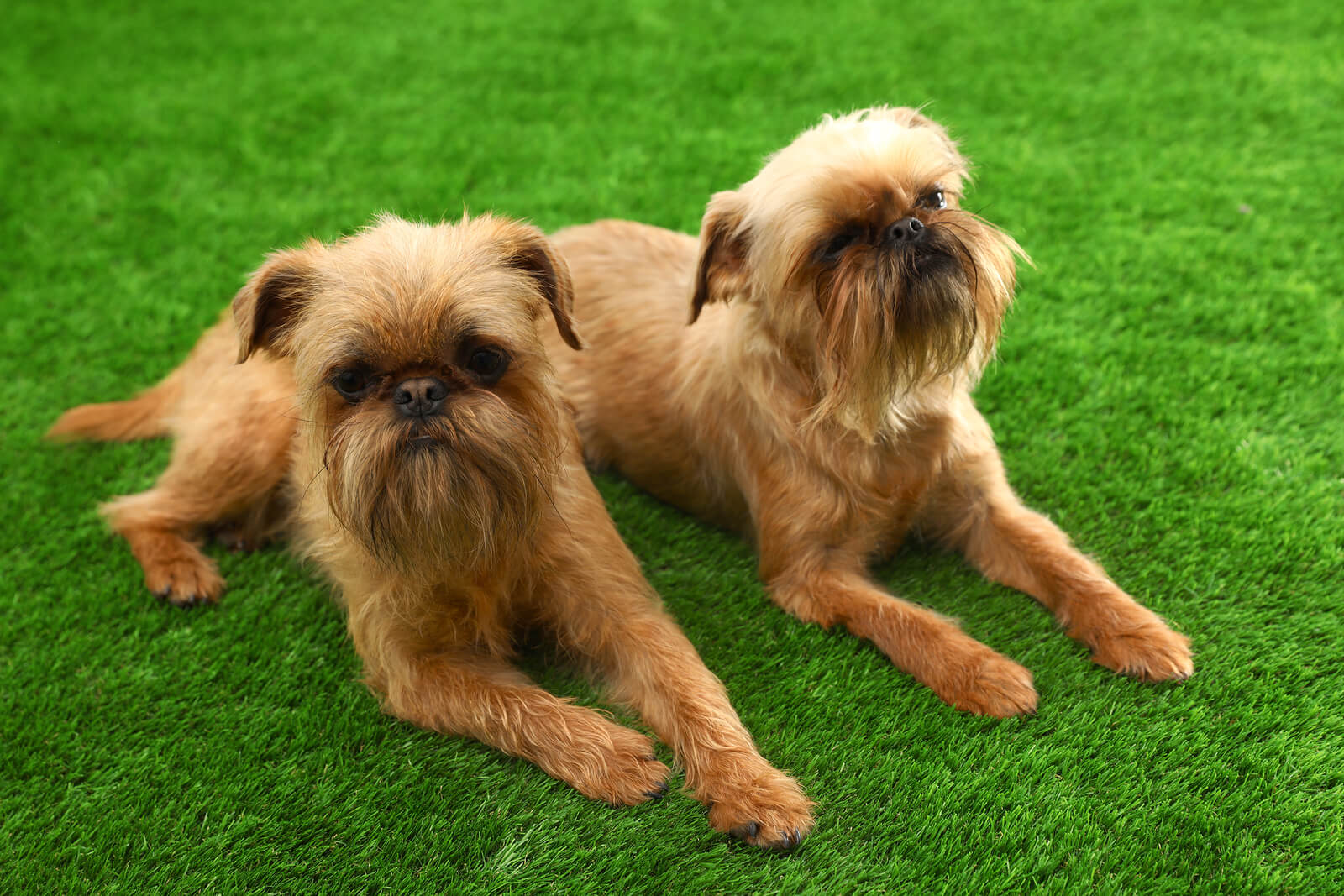 Studio portrait of funny Brussels Griffon dogs on green grass